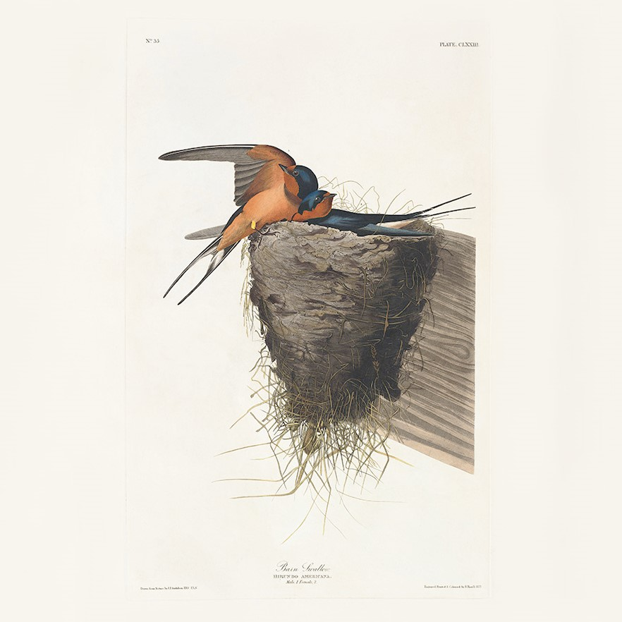 Audubon Barn Swallow Vogelpracht Teylers Heritage Prints