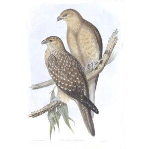 John Gould - Birds of Australia Volume 1 Whistling Eagle - Facsimile Giclee Print - Heritage Prints
