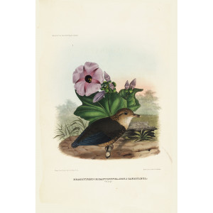 Caerulean Pitta (Young) 001 Daniel Giraud Elliot - A Monograph of the Pittidae, or Family of Ant Thrushes. Museum quality giclee print