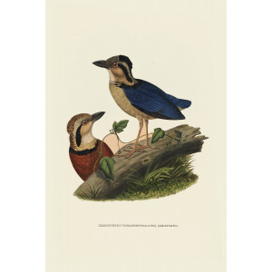 Caerulean Pitta 002 Daniel Giraud Elliot - A Monograph of the Pittidae, or Family of Ant Thrushes. Museum quality giclee print