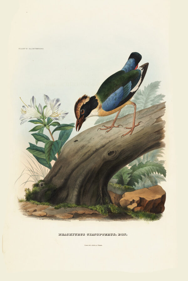 Blue-Winged Pitta 004 Daniel Giraud Elliot - A Monograph of the Pittidae, or Family of Ant Thrushes. Museum quality giclee print
