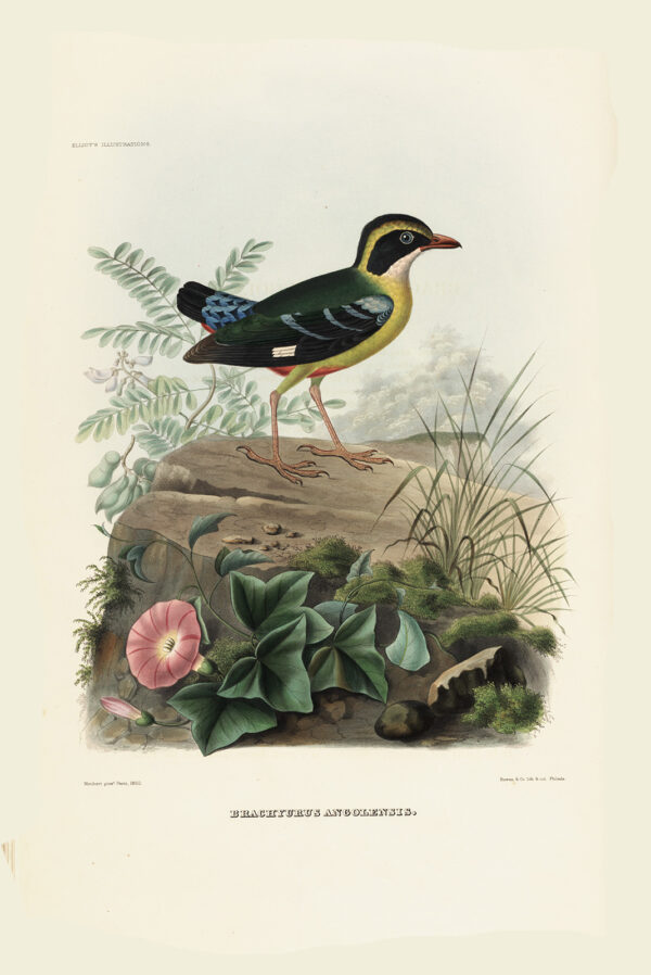 Angola Pitta 005 Daniel Giraud Elliot - A Monograph of the Pittidae, or Family of Ant Thrushes. Museum quality giclee print