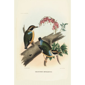 Bengal Pitta 006 Daniel Giraud Elliot - A Monograph of the Pittidae, or Family of Ant Thrushes. Museum quality giclee print