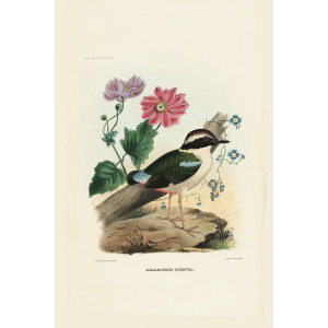 Fairy Pitta 008 Daniel Giraud Elliot - A Monograph of the Pittidae, or Family of Ant Thrushes. Museum quality giclee print