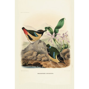Elegant Pitta 010 Daniel Giraud Elliot - A Monograph of the Pittidae, or Family of Ant Thrushes. Museum quality giclee print