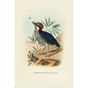 Blue Pitta 013 Daniel Giraud Elliot - A Monograph of the Pittidae, or Family of Ant Thrushes. Museum quality giclee print