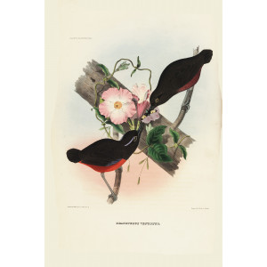 Graceful Pitta 014 Daniel Giraud Elliot - A Monograph of the Pittidae, or Family of Ant Thrushes. Museum quality giclee print