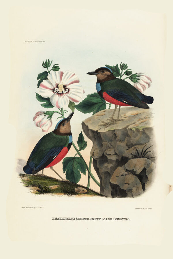 Celebes Pitta 017 Daniel Giraud Elliot - A Monograph of the Pittidae, or Family of Ant Thrushes. Museum quality giclee print