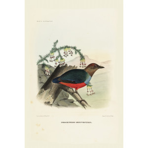 Crimson-Breasted Pitta 019 Daniel Giraud Elliot - A Monograph of the Pittidae, or Family of Ant Thrushes. Museum quality giclee print