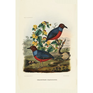 Baud's Pitta 020 Daniel Giraud Elliot - A Monograph of the Pittidae, or Family of Ant Thrushes. Museum quality giclee print