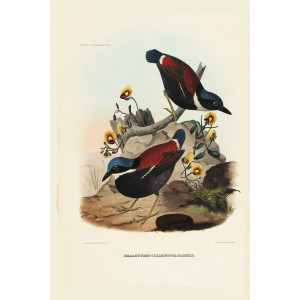 Baud's Pitta 022 Daniel Giraud Elliot - A Monograph of the Pittidae, or Family of Ant Thrushes. Museum quality giclee print