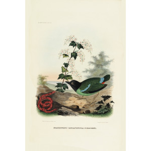 Forsten's Pitta 024 Daniel Giraud Elliot - A Monograph of the Pittidae, or Family of Ant Thrushes. Museum quality giclee print