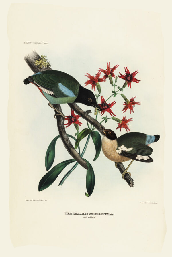 Black-Headed Pitta 025 Daniel Giraud Elliot - A Monograph of the Pittidae, or Family of Ant Thrushes. Museum quality giclee print