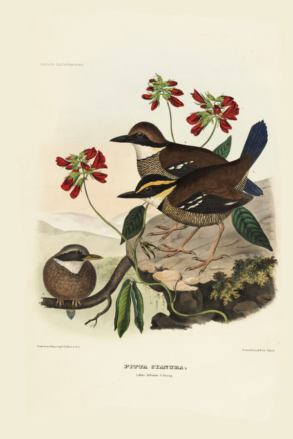 Blue-tailed Pitta 029 Daniel Giraud Elliot - A Monograph of the Pittidae, or Family of Ant Thrushes. Museum quality giclee print