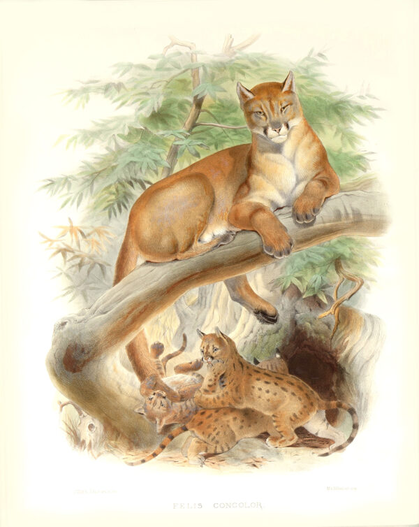 Felis Concolor. Cougar Puma, Panthr, American Lion. Daniel Giraud Elliot. A Monograph of the Felidae or Family of Cats. Museum quality giclee print.