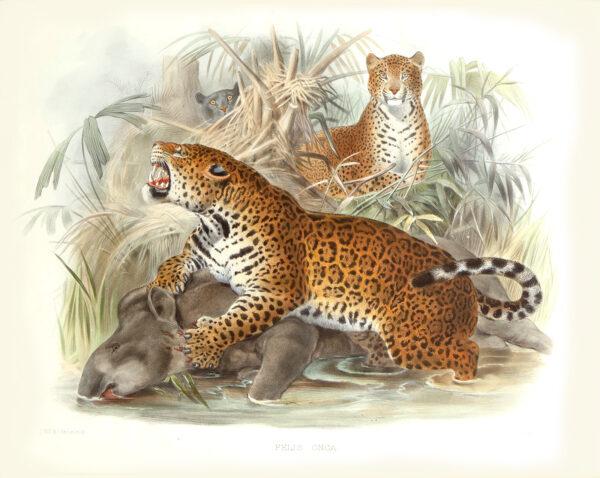 Felic Onca. Jaguar. Daniel Giraud Elliot. A Monograph of the Felidae or Family of Cats. Museum quality giclee print.