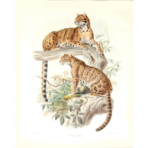 Felis Diardi. Clouded Tiger. Daniel Giraud Elliot. A Monograph of the Felidae or Family of Cats. Museum quality giclee print.