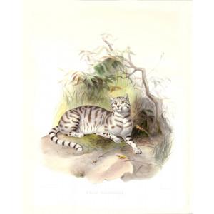 Felis Colocolla. Molina's Guiana Cat. Daniel Giraud Elliot. A Monograph of the Felidae or Family of Cats. Museum quality giclee print.