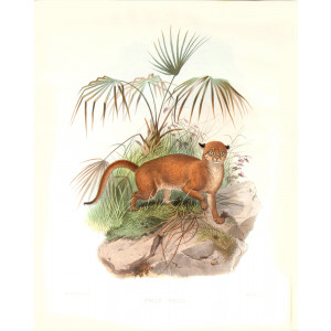 Felis Badia. Bornean Red Cat. Daniel Giraud Elliot. A Monograph of the Felidae or Family of Cats. Museum quality giclee print.