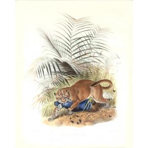 Felis Temminckii. Temminck's Golden Cat. Daniel Giraud Elliot. A Monograph of the Felidae or Family of Cats. Museum quality giclee print.