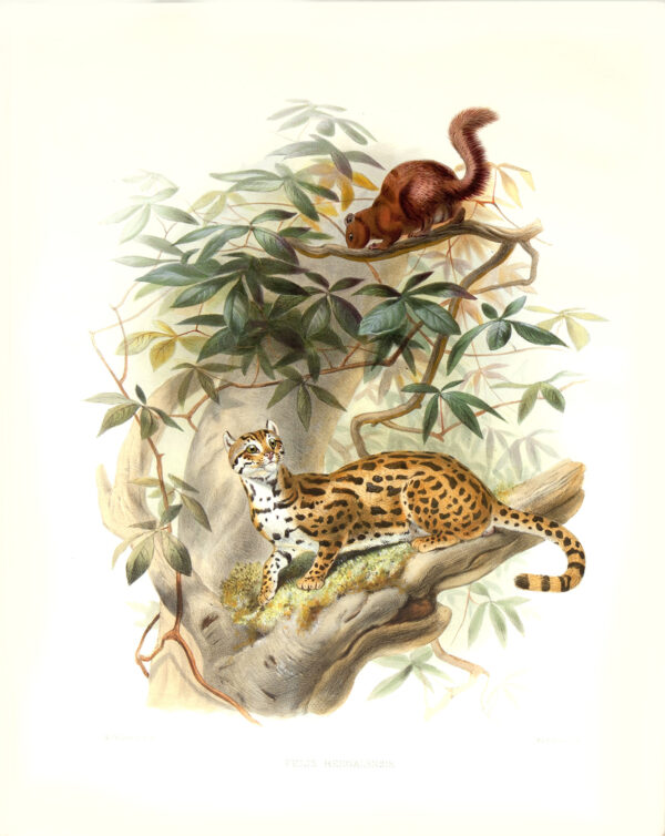 Felis Bengalensis. Bengal Leopard Cat. Daniel Giraud Elliot. A Monograph of the Felidae or Family of Cats. Museum quality giclee print.