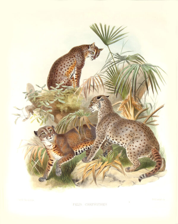 Felis Chrysothrix. African Golden Cat. Daniel Giraud Elliot. A Monograph of the Felidae or Family of Cats. Museum quality giclee print.