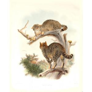 Felis Catus. European Wild Cat. Daniel Giraud Elliot. A Monograph of the Felidae or Family of Cats. Museum quality giclee print.