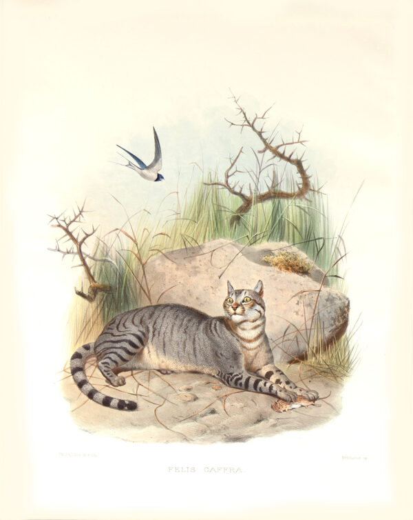 Felis Caffra. Caffer Cat. Daniel Giraud Elliot. A Monograph of the Felidae or Family of Cats. Museum quality giclee print.
