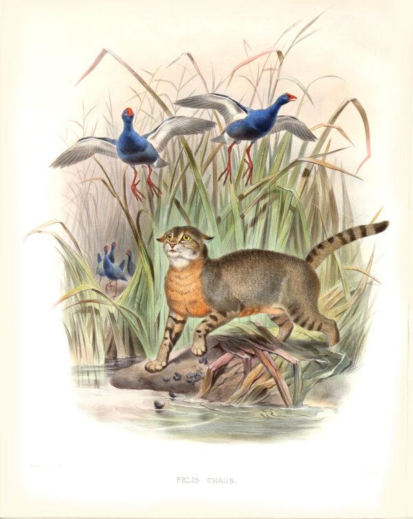 Felis Chaus. Daniel Giraud Elliot. A Monograph of the Felidae or Family of Cats. Museum quality giclee print.