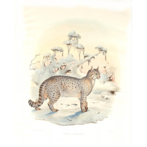 Felis Caudatus. Bokhara Chaus. Daniel Giraud Elliot. A Monograph of the Felidae or Family of Cats. Museum quality giclee print.