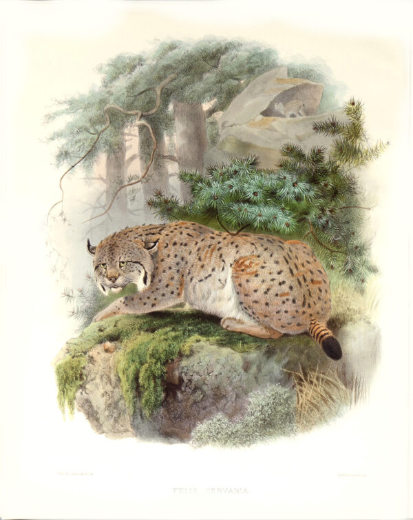 Felis Cervaria. Siberian Lynx. Daniel Giraud Elliot. A Monograph of the Felidae or Family of Cats. Museum quality giclee print.