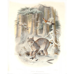 Felis Canadensis. Northern Lynx. Daniel Giraud Elliot. A Monograph of the Felidae or Family of Cats. Museum quality giclee print.