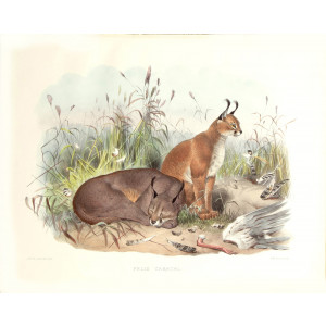 Felis Caracal. Daniel Giraud Elliot. A Monograph of the Felidae or Family of Cats. Museum quality giclee print.