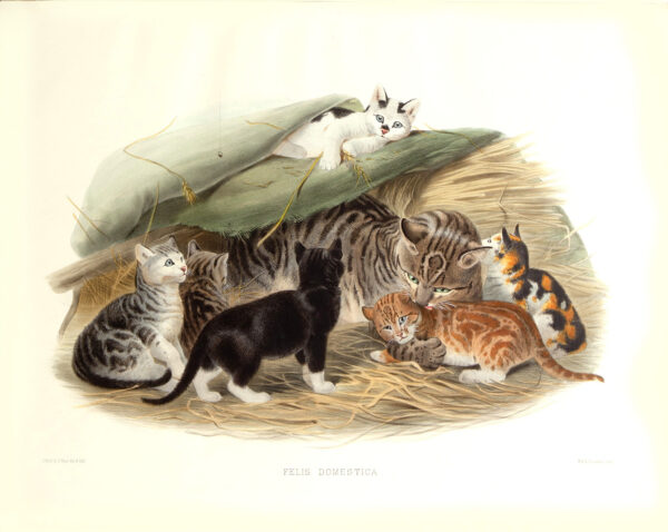 Felis Domestica. Domestic Cat. Daniel Giraud Elliot. A Monograph of the Felidae or Family of Cats. Museum quality giclee print.