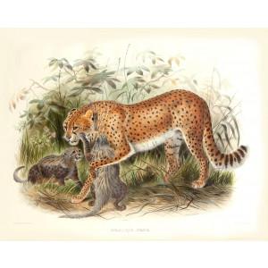 Cynailurus Jubatus. Cheetah Hunting Leopard. Daniel Giraud Elliot. A Monograph of the Felidae or Family of Cats. Museum quality giclee print.)