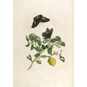 Lemon (1) - Maria Sibylla Merian - Metamorphosis insectorum Surinamensium (2nd edition) – Museum quality giclee print by Heritage Prints