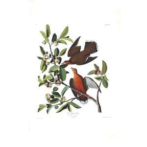 Audubon 162 Zenaida Dove. Giclée Print. Heritage Prints