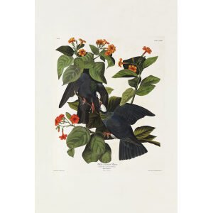 John James Audubon Birds of America Plate 177 White Crowned Pigeon Giclée Print
