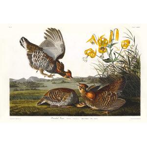 John James Audubon Birds of America Plate 186 Pinnated Grouse Giclée Print