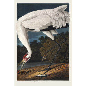 Audubon Whooping Crane Plate 226 Giclée Print Heritage Prints