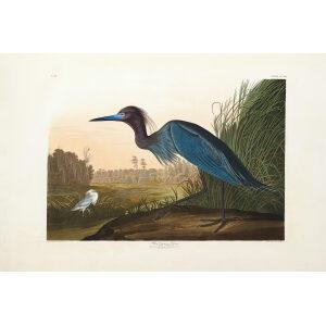 John James Audubon Birds of America Plate 307 Blue Crane or Heron Giclée Print