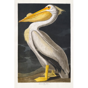 John James Audubon Birds of America Plate 311 American White Pelican Giclée Print