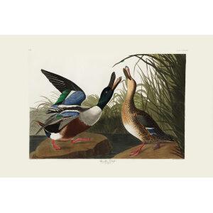 John James Audubon Birds of America Plate 327 Shoveler Duck Giclée Print