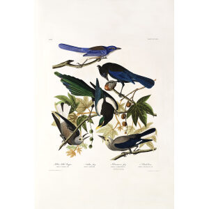 John James Audubon Birds of America Plate 362 Yellow billed Magpie Giclée Print
