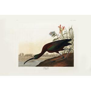 John James Audubon Birds of America Plate 387 Glossy Ibis Giclée Print