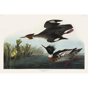 Red-breasted Merganser plate 401 Audubon Bird of America
