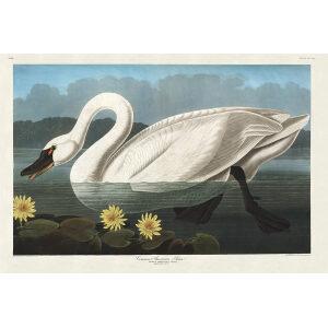 John James Audubon Birds of America Plate 411 Common American Swan Giclée Print