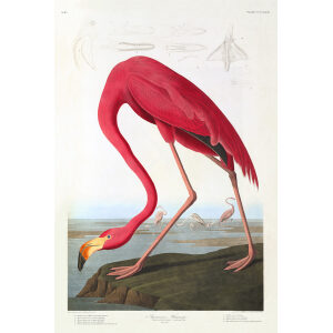 John James Audubon Birds of America Plate 431 American Flamingo Giclée Print