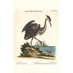 Seligmann Edwards - Der Aschfarbe Reiger aus North-Amerika - Sammlung verschiedener ausländischer und seltener Vögel - Museum quality giclee print - Facsimile Giclee