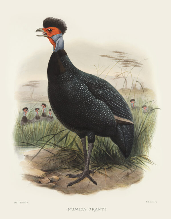 Elliot Family of the Pheasants - The Kiroro Guinea-fowl